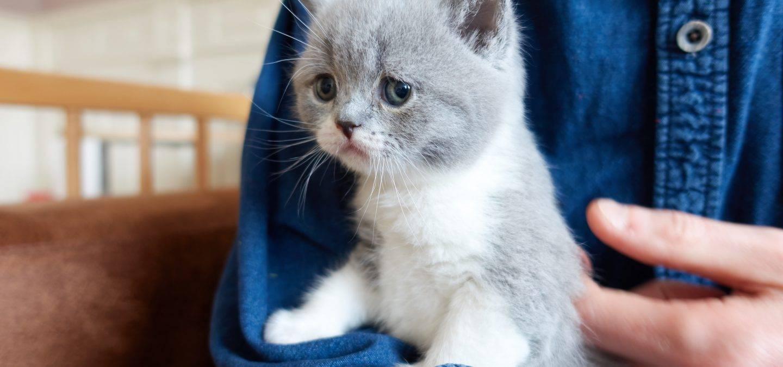 Blauw-wit bicolor brits korthaar poesje 5 weken